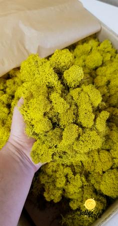 Licheni decorativi naturali stabilizati, culoare Galben / Yellow [2]