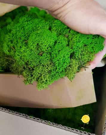 Licheni decorativi naturali stabilizati, culoare Light Green [2]