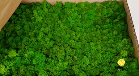 Licheni decorativi naturali stabilizati, culoare Light Green [0]
