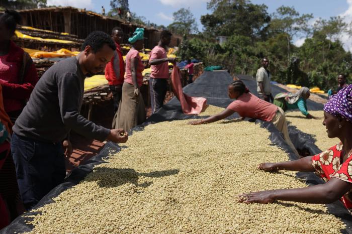 Cafea verde Etiopia Adola 2