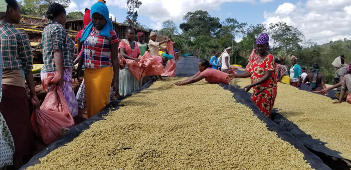 Cafea verde Etiopia Adola 0