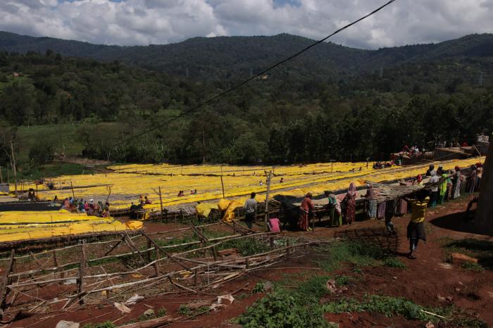 Cafea verde Etiopia Adola 1