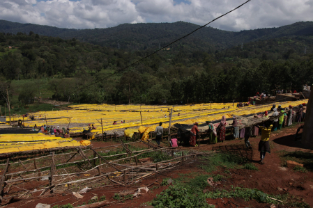 Cafea verde Etiopia Adola1