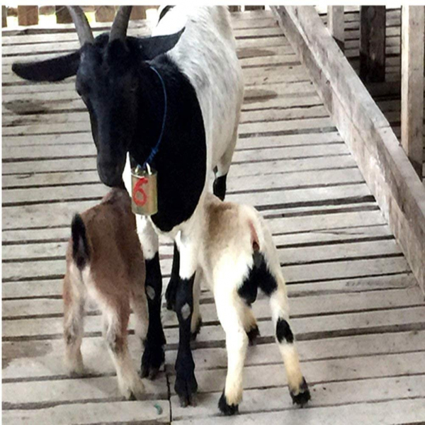 Clopot M pentru ovine | bovine 7
