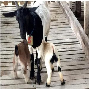 Clopot L pentru ovine | bovine6