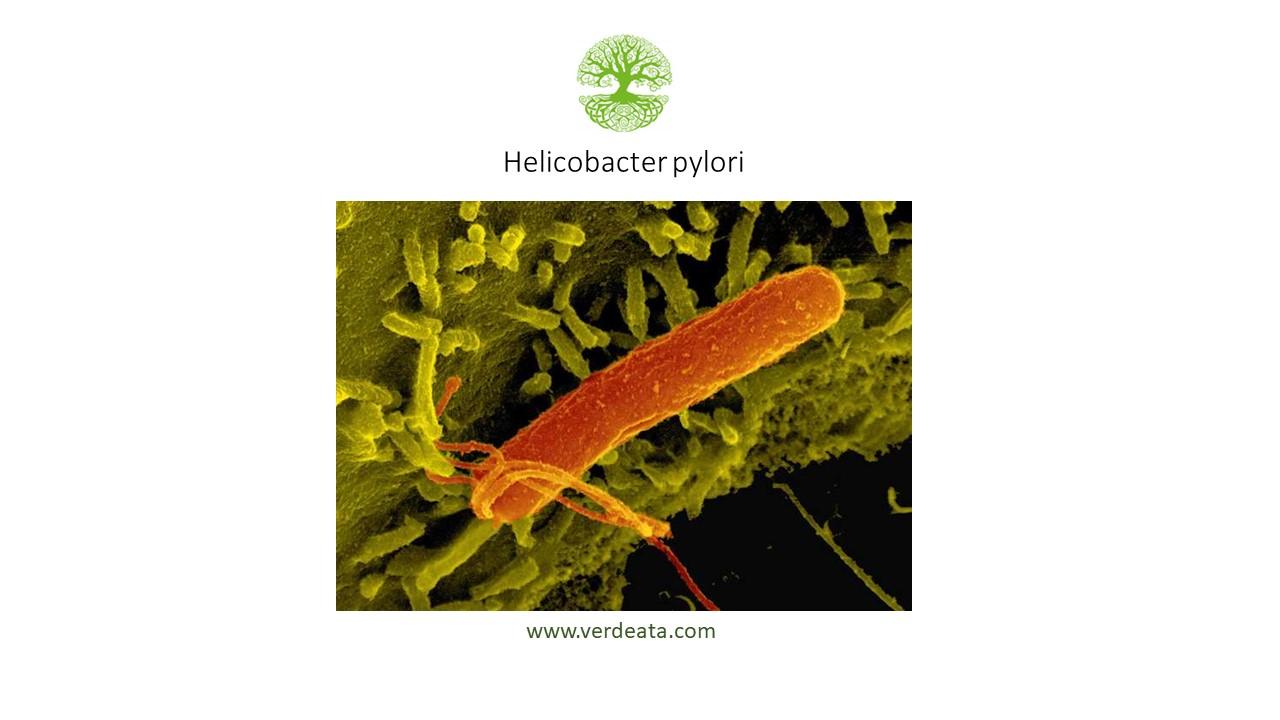 Helicobacter Pylori - 2-3 luni