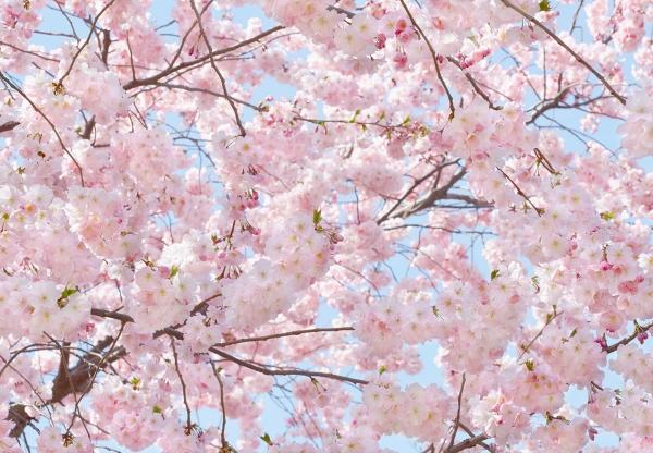 Fototapet 00155 Flori roz [0]