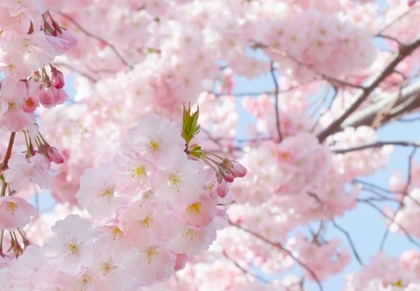 Fototapet 00155 Flori roz [1]