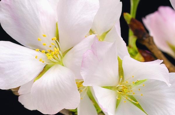 Fototapet 00627 Flori de cires [1]