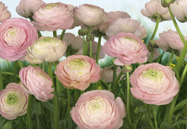 Fototapet 8-894 Gentle Rose [0]