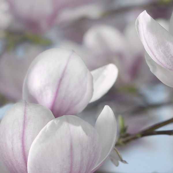 Fototapet 8-738 Magnolia [1]