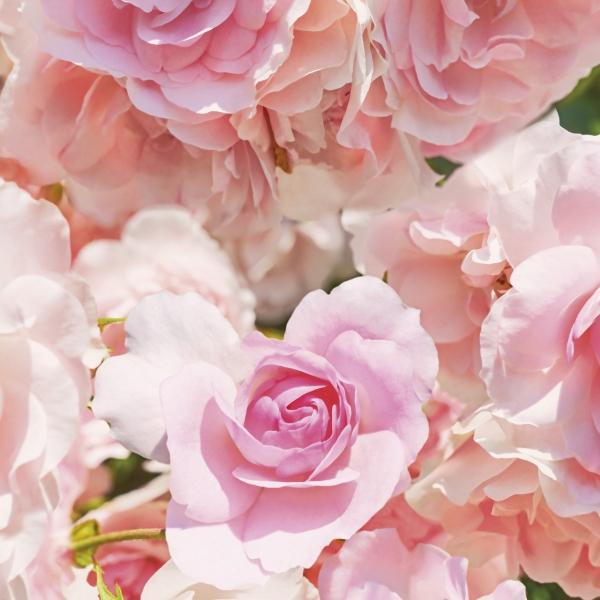 Fototapet 8-937 Rosa [1]