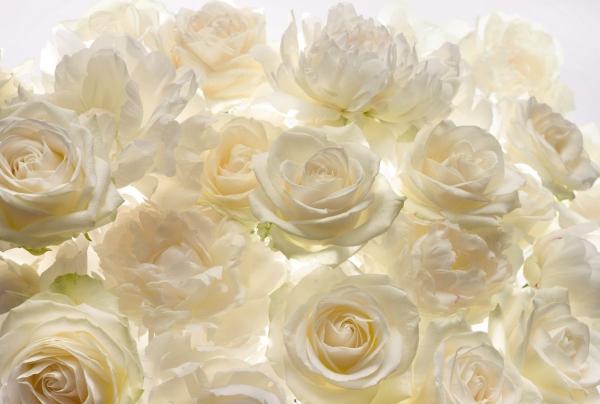 Fototapet XXL4-007 Trandafiri albi [0]