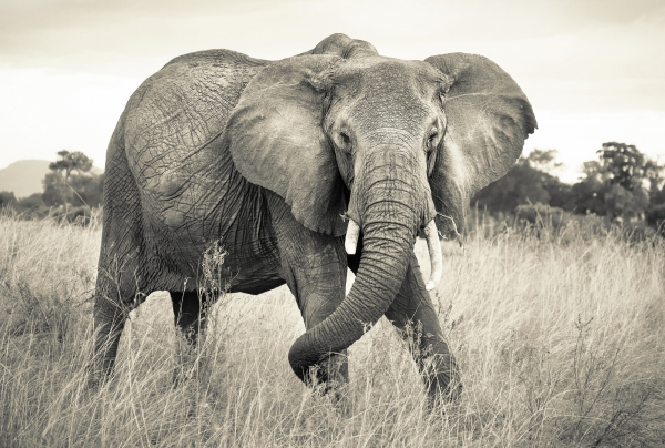 Fototapet XXL4-529 Elefant [0]