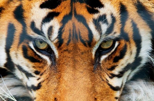 Fototapet 00608 Tigru [0]