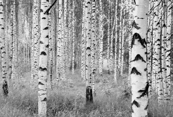 Fototapet XXL4-023 Mesteceni in alb si negru [0]