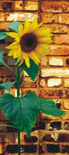 Fototapet FTV 0042 Floarea soarelui 0