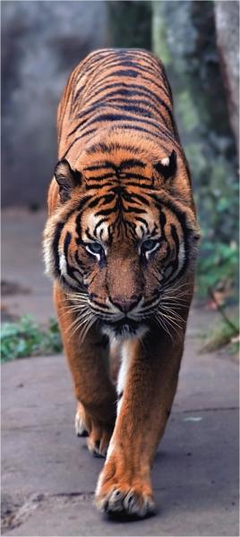 Fototapet FTV 0001 Tigru 0
