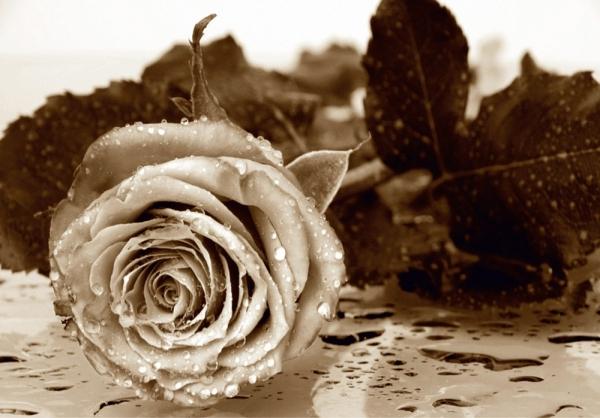 Fototapet FTS 0086 Trandafir sepia 0