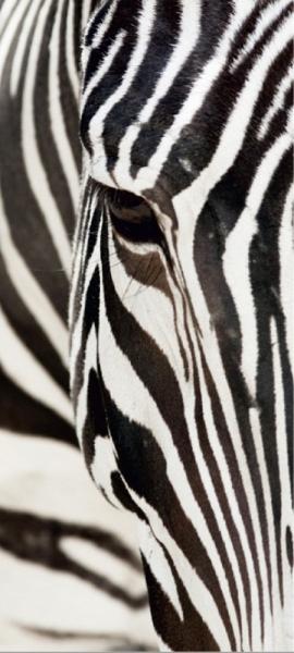 Fototapet FTV 0211 Zebra 0