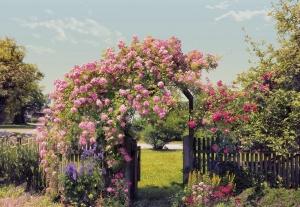 Fototapet 8-936 Gradina cu trandafiri0