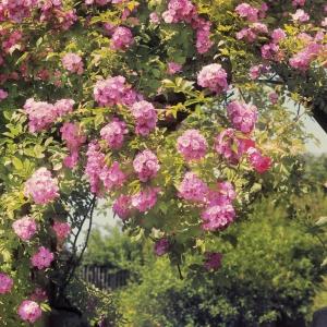 Fototapet 8-936 Gradina cu trandafiri1