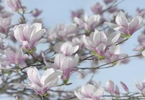 Fototapet 8-738 Magnolia [0]