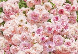 Fototapet 8-937 Rosa [0]
