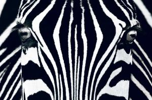 Fototapet 00684 Zebra [0]