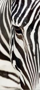Fototapet FTV 0211 Zebra0