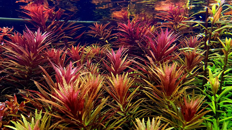 Fierul chelat DTPA in acvariile plantate