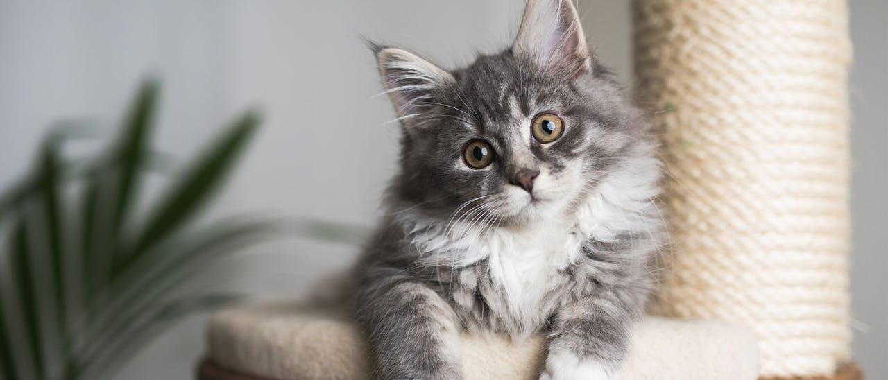Cum să ai grijă de un pisoi sau o pisică