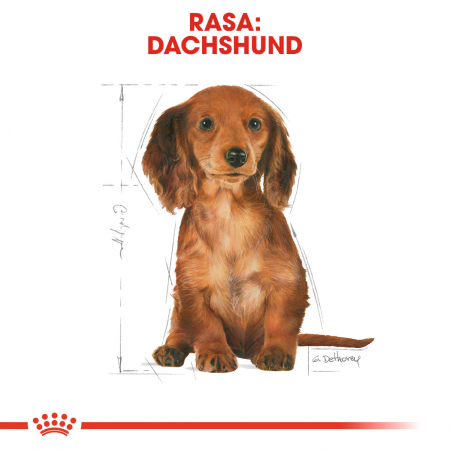 Royal Canin Dachshund Puppy hrana uscata caine junior Teckel, 1.5 kg4