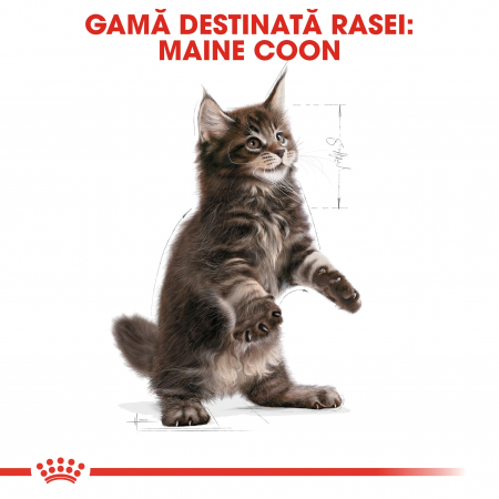 Royal Canin Maine Coon Kitten hrana uscata pisica junior, 10 kg4
