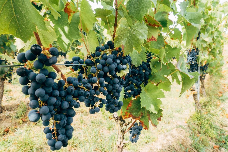 Viticultura – recoltarea strugurilor