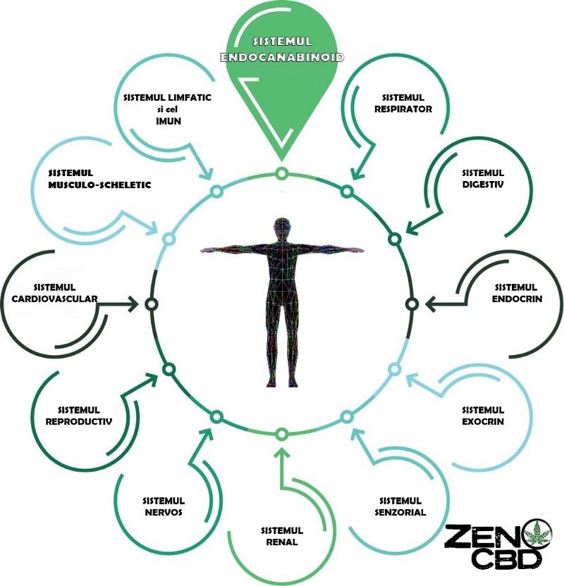 ce este sistemul endocanabinoid rol organism cbd