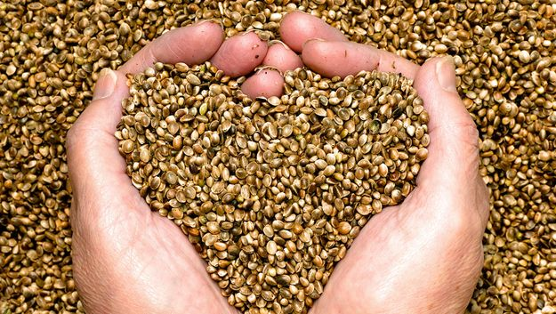 Seminte de cannabis: cadoul perfect pentru un colectionar veritabil