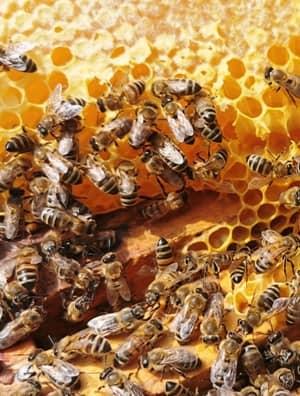 capaceala fagure miere