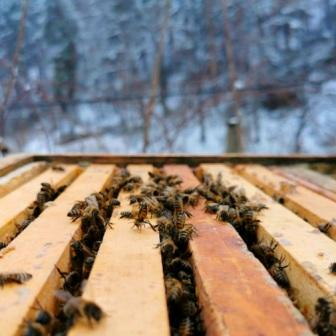 Ce fac albinele iarna?