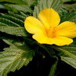 Proprietăți miraculoase. Planta care îndepărtează stresul și anxietatea