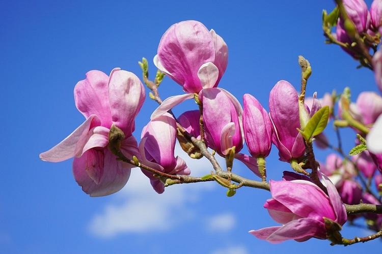 floare-de-magnolie