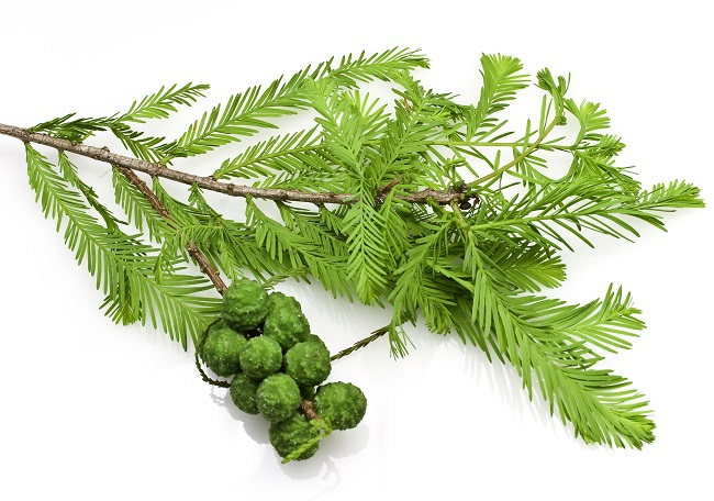 Ulei Esential Chiparos, Cypress 15ml [1]